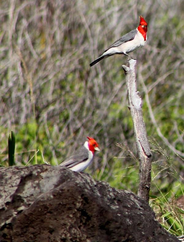 Birds Poster featuring the photograph Brazillian Cardinals by Elizabeth Doran