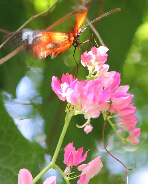 Pink Poster featuring the photograph Butterfly II by Sarah Ellis