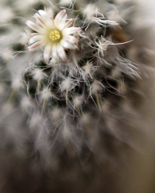 Cactus Poster featuring the photograph Cactus by Maria Mosolova