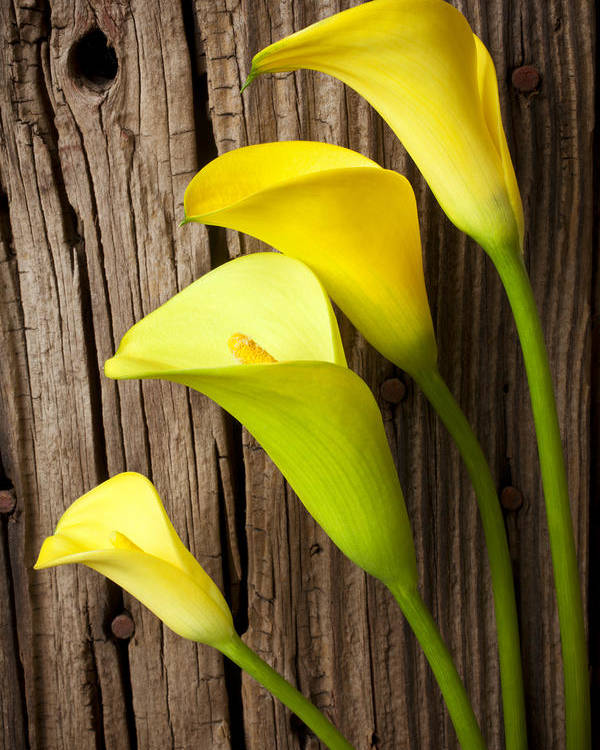 Calla Lily Poster featuring the photograph Calla Lilies Against Wooden Wall by Garry Gay