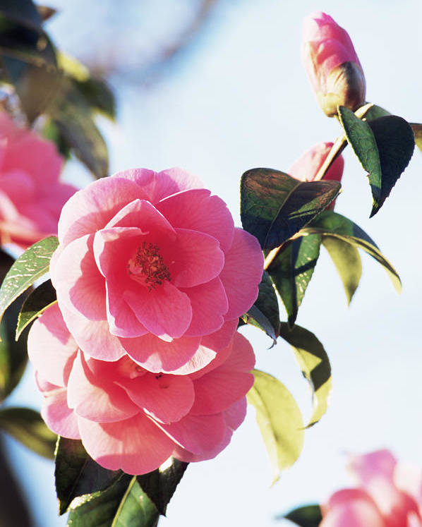 'donation' Poster featuring the photograph Camellia X Williamsii 'donation' by Archie Young