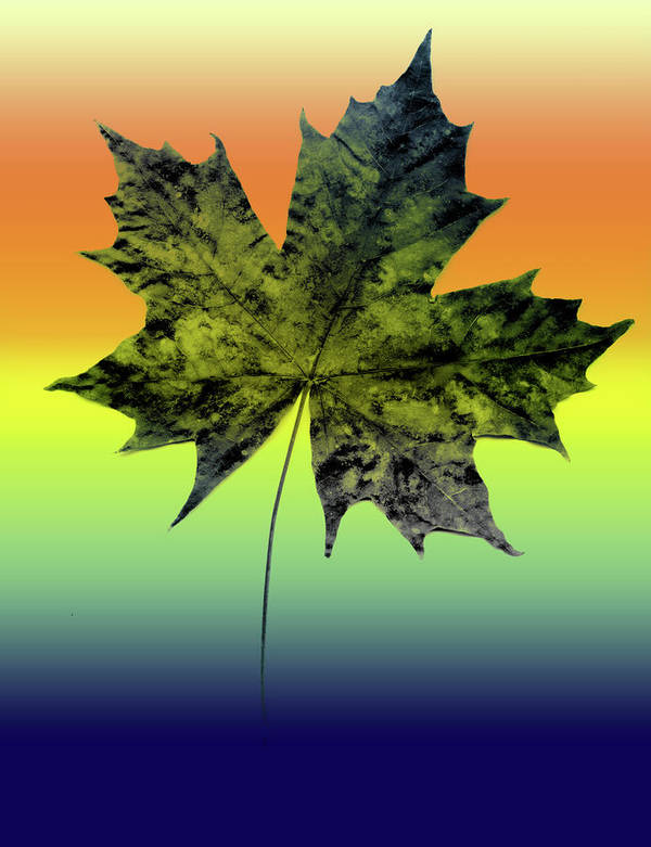 Maple Leaf Poster featuring the photograph Canadian Maple Leaf by Rianna Stackhouse