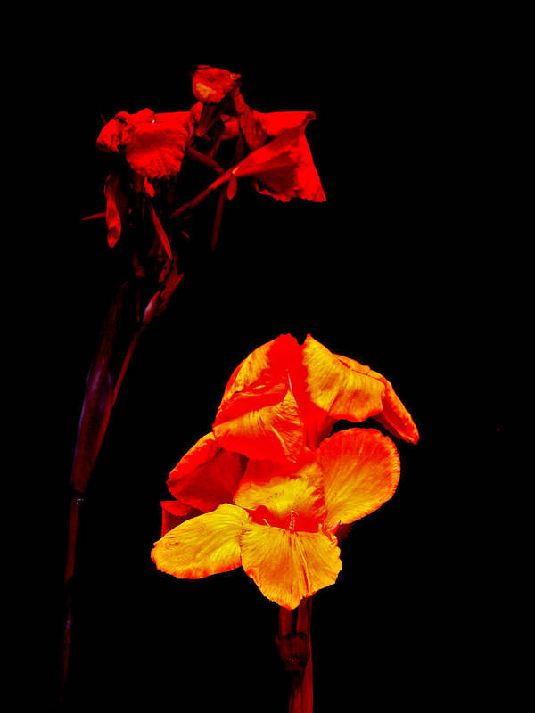 Canna Poster featuring the photograph Canna Lilies On Black by Mother Nature