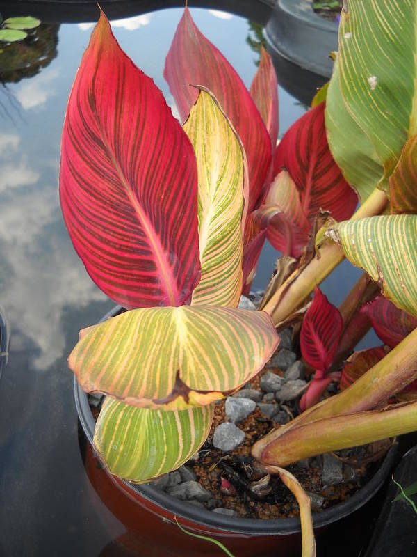 Water Poster featuring the photograph Canna Lily Fall Colors by Clifton Keller