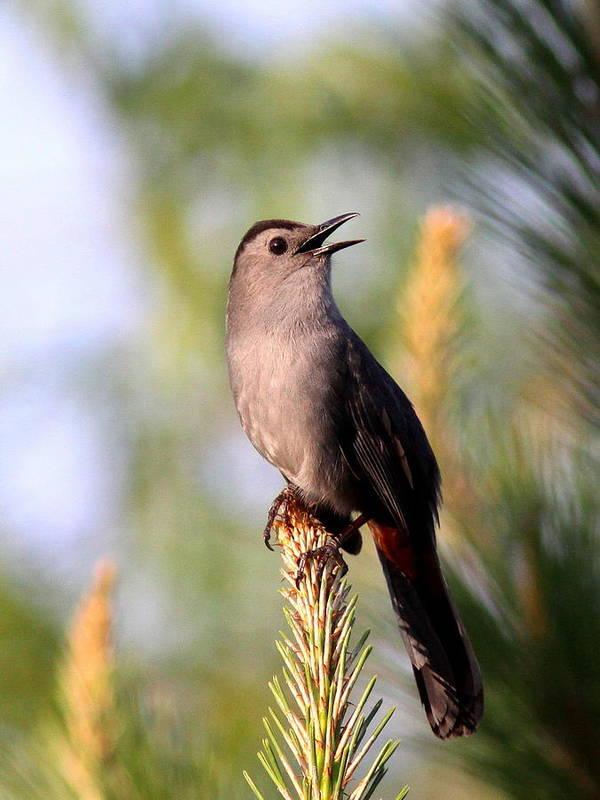 Catbird Poster featuring the photograph Catbird In Pine by Travis Truelove