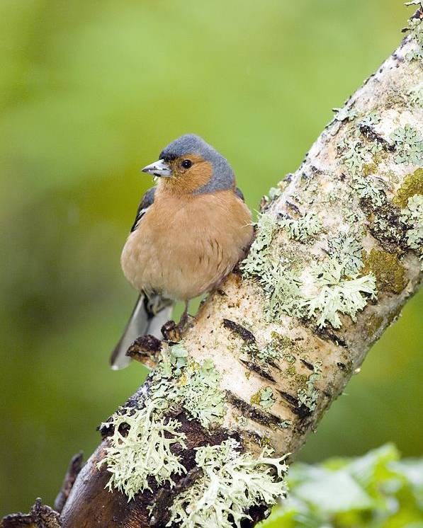 Fringilla Coelebs Poster featuring the photograph Chaffinch by Duncan Shaw