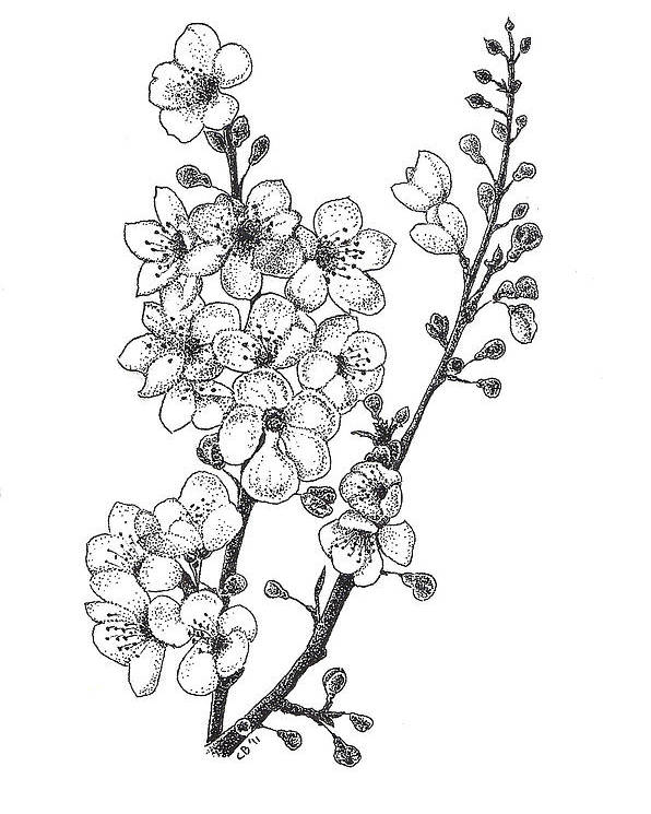 Flowers Poster featuring the drawing Cherry Blossems by Christy Beckwith
