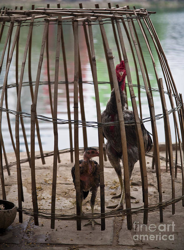 Animal Poster featuring the photograph Chickens In Bamboo Cage by David Buffington