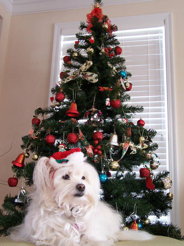 Maltese Poster featuring the photograph Christmas Card Dog by Vijay Sharon Govender