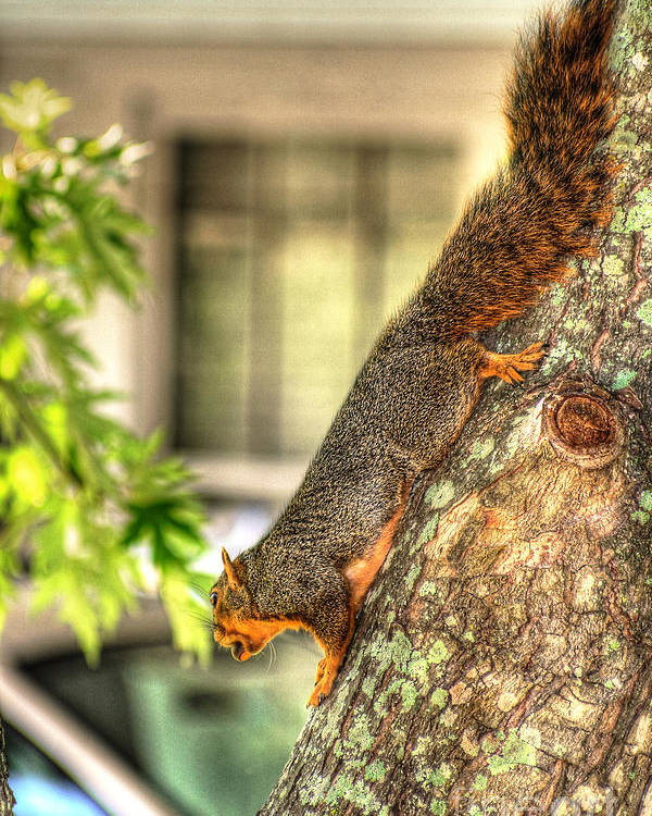 Fox Squirrel Photograph Poster featuring the photograph Climbing Down by Ester Rogers