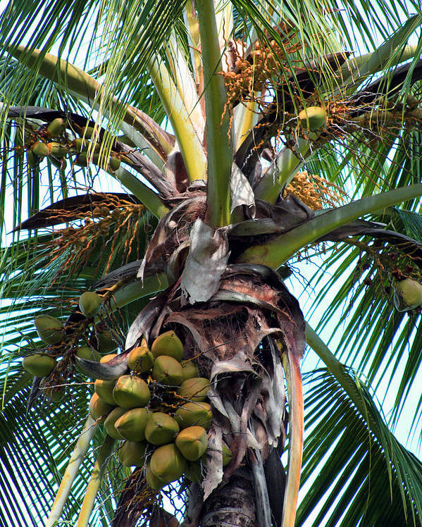 Coco Poster featuring the photograph Coconut Palm Inflorescence by Karon Melillo DeVega
