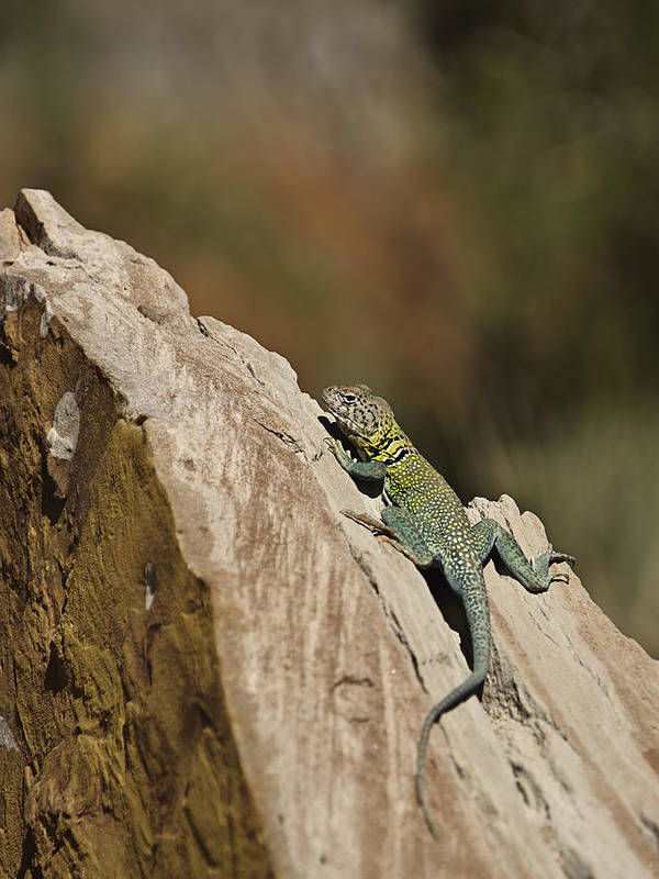 Animals Art Poster featuring the photograph Collared Lizard by Melany Sarafis