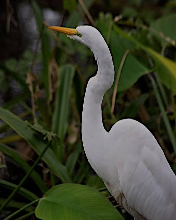 Audobon Corkscrew Swamp Sanctuary Poster featuring the photograph Corkscrew by Joseph Yarbrough