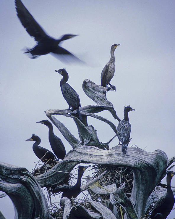 Light Poster featuring the photograph Cormorants Fly Above Driftwood, Grey by Leanna Rathkelly