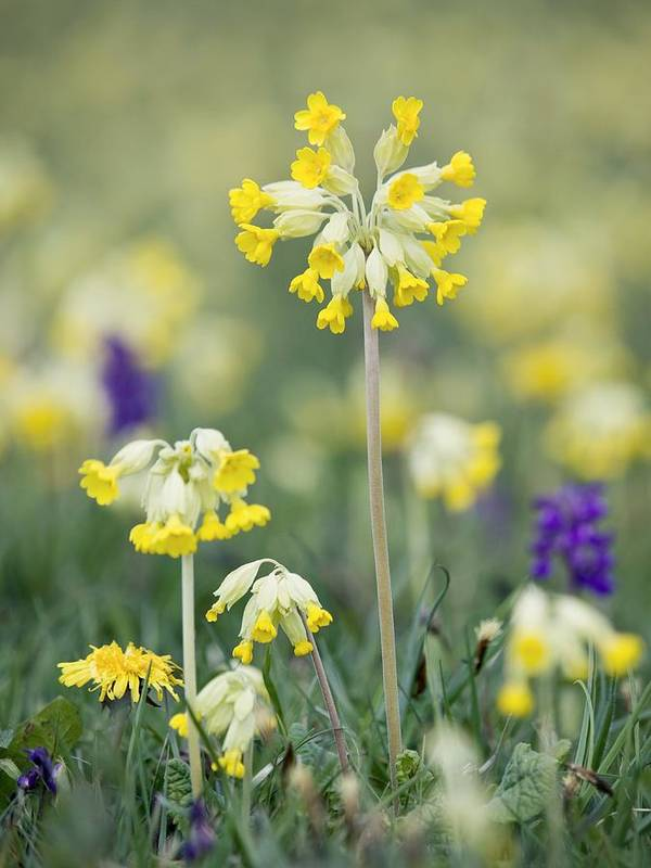 Primula Veris Poster featuring the photograph Cowslips (primula Veris) by Adrian Bicker