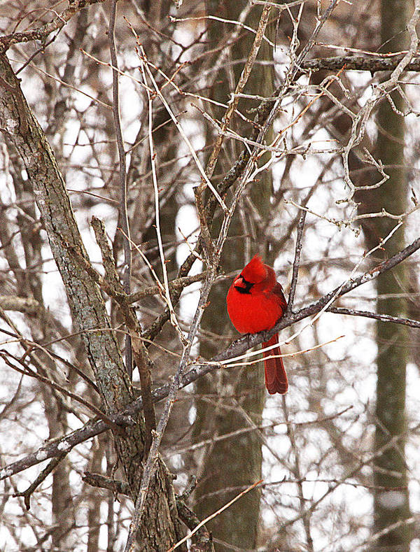 Curious Poster featuring the photograph Curious Cardinal by Jane Coenen
