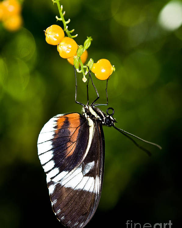 Cydno Longwing Butterfly Poster featuring the photograph Cydno Longwing Butterfly by Terry Elniski