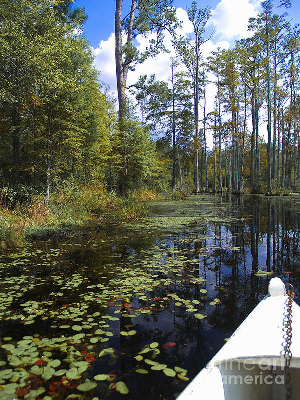 Wetland Poster featuring the photograph Cypress Swamps And Black Water by Ginette Callaway
