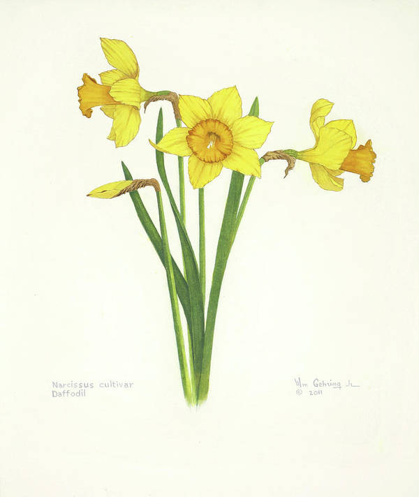 Daffodils Poster featuring the painting Daffodils by Bill Gehring