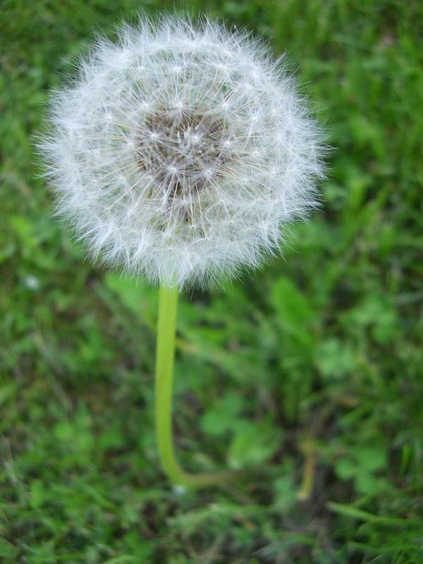 Dandelion Poster featuring the photograph Dandelion Puff by Kendra Keryluk