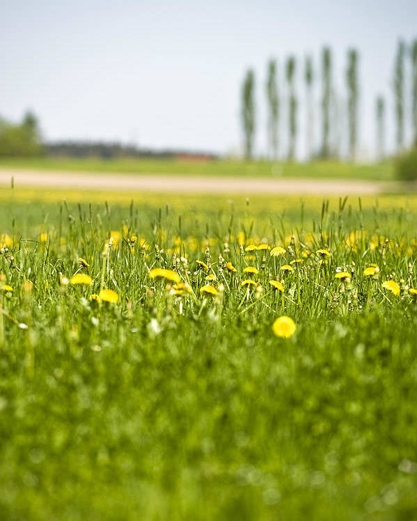 Vertical Poster featuring the photograph Dandelions Growing In Meadow by Stock4b-rf