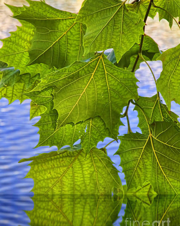 Leaves Poster featuring the photograph Dangling Leaves by Deborah Benoit