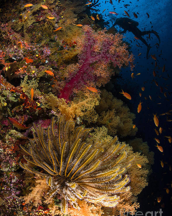 Crinoid Poster featuring the photograph Diver Swims By Soft Corals And Crinoid by Todd Winner