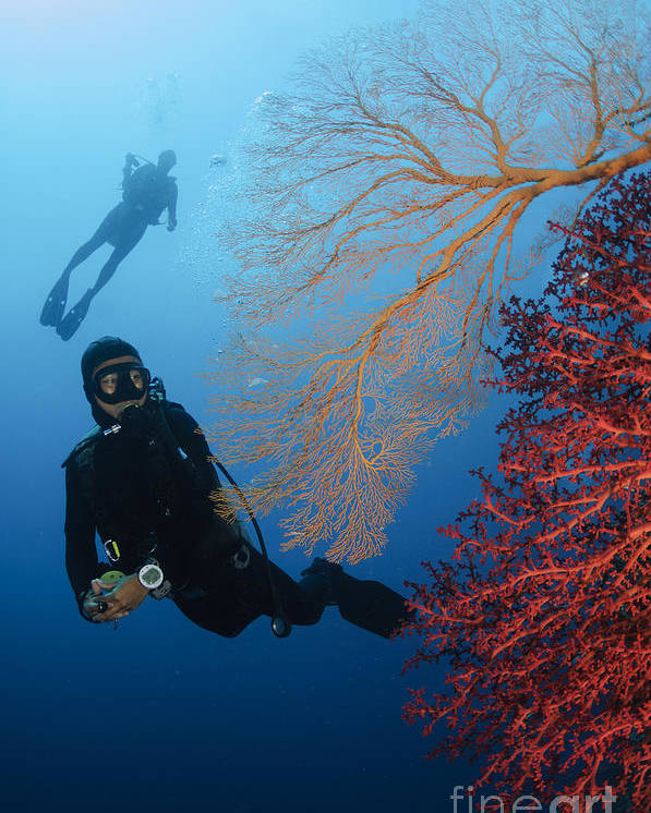 Diver Poster featuring the photograph Divers Swimming By Sea Fans, Indonesia by Todd Winner