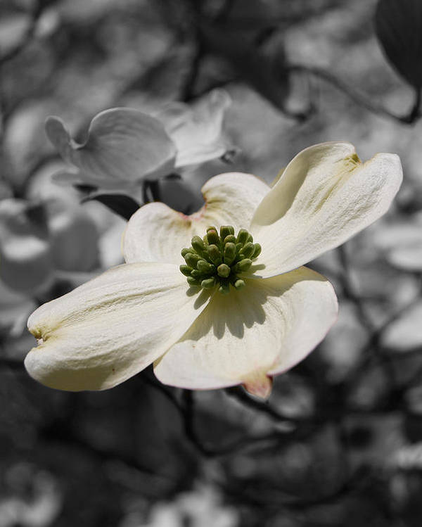 Dogwood Poster featuring the digital art Dogwood Black And White by Eva Kaufman