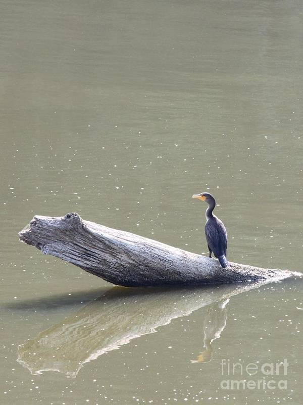 Nature Poster featuring the photograph Double-crester Cormorant by Jack R Brock