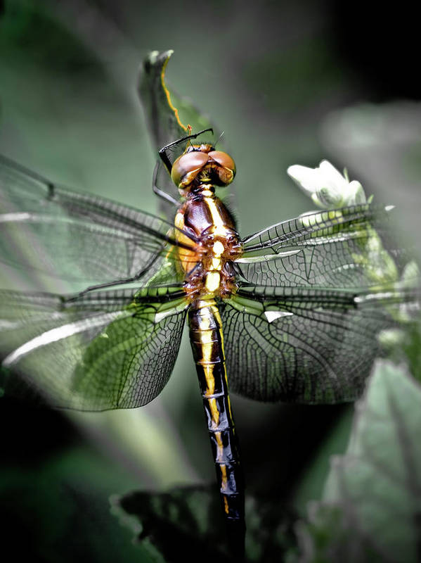 Dragonfly Poster featuring the photograph Drangonfly by Jim DeLillo