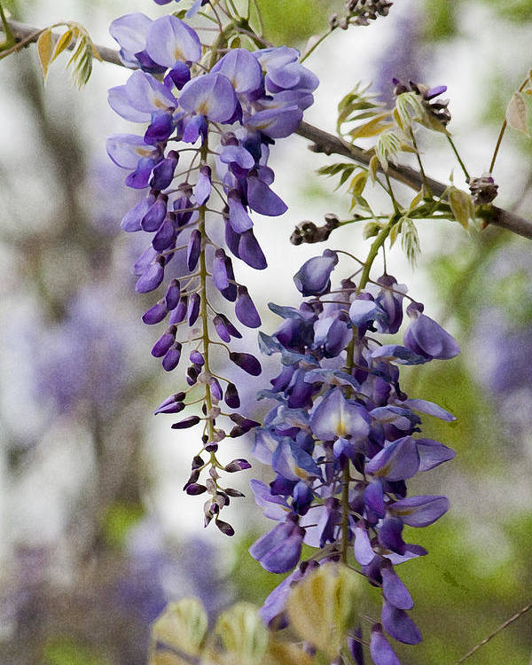 68f8c129210 Hygrophila Difformis Poster featuring the photograph Draping Lavender  Purple Wisteria Vines by Kathy Clark