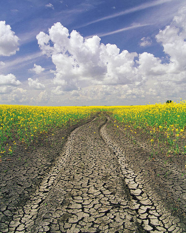 Canola Field Poster featuring the photograph Dried Up Machinery Tracks by Dave Reede