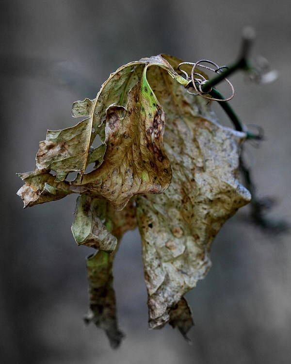 Leaf Poster featuring the photograph Dying Leaf by Rick Rauzi