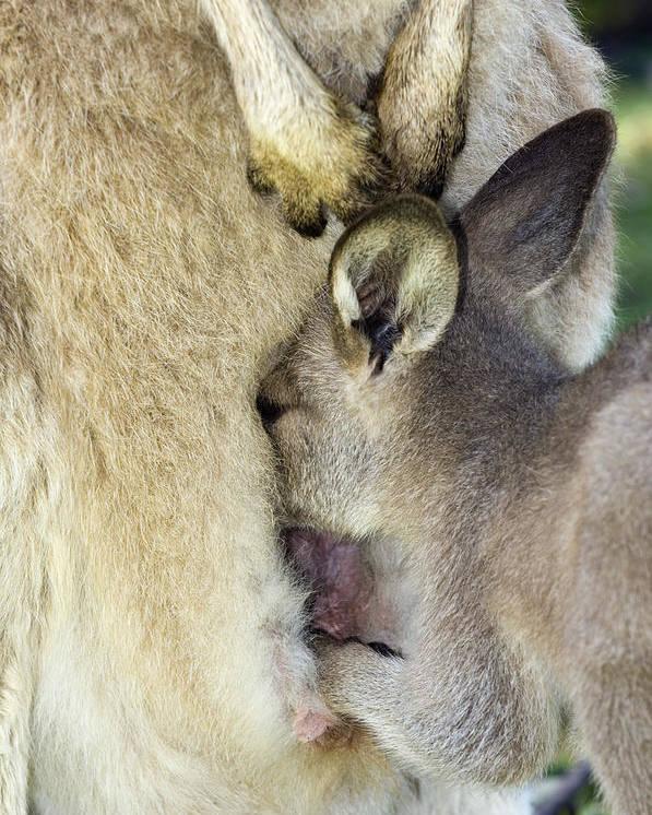 Macropus Giganteus Poster featuring the photograph Eastern Grey Kangaroo Joey by Tony Camacho
