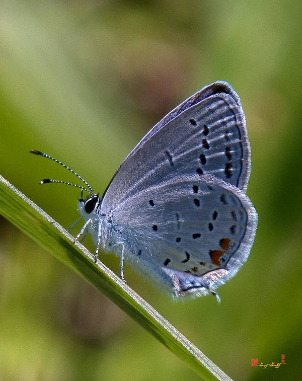Spring Poster featuring the photograph Eastern Tailed-blue Butterfly Din045 by Gerry Gantt