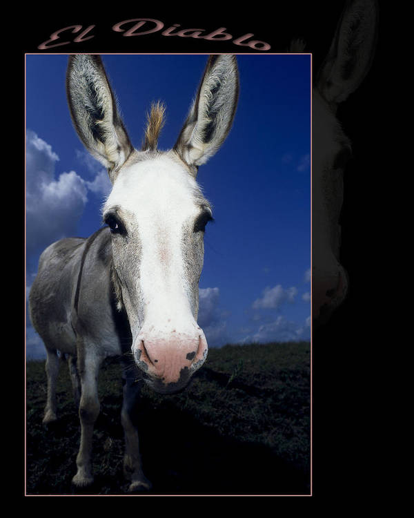 Miniature Donkey Poster featuring the photograph El Diablo by Stan Williams