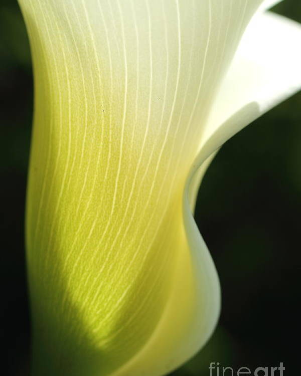 Calla Poster featuring the photograph Elegance II by Beth Buelow