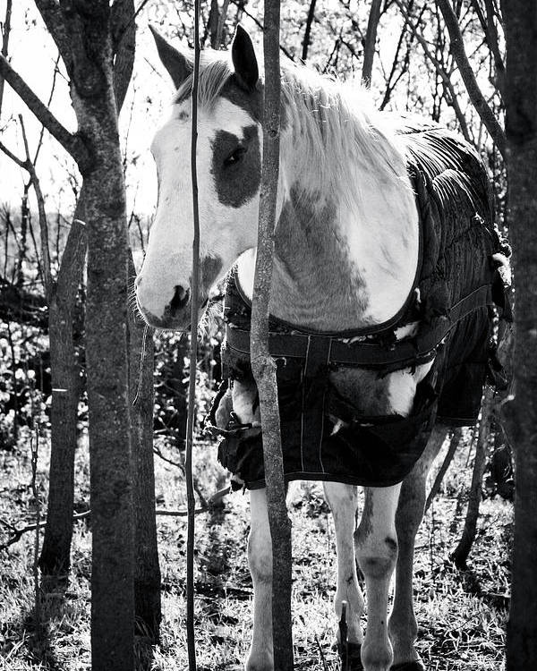 Horse Poster featuring the photograph Elusive by Toni Hopper