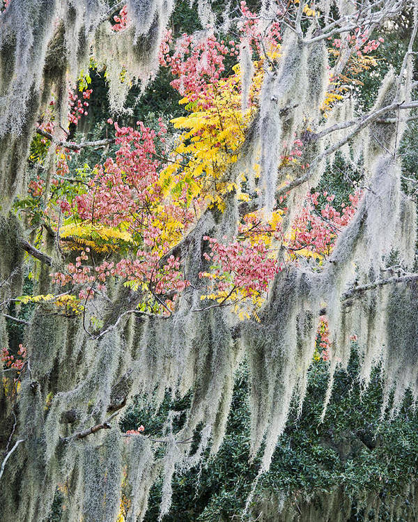 Air Plant Poster featuring the photograph Fall Colors In Spanish Moss by Carolyn Marshall