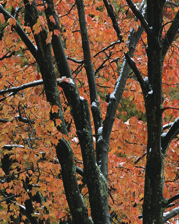 Outdoors Poster featuring the photograph Fall Foliage Of Maple Trees After An by Tim Laman