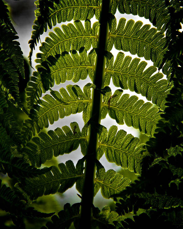 Fern Poster featuring the photograph Fern by Odd Jeppesen