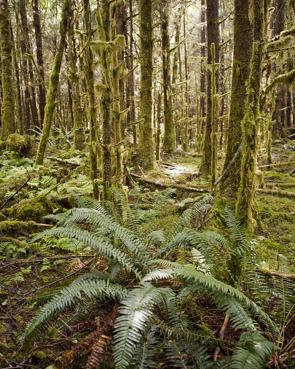 Queen Charlotte Islands Poster featuring the photograph Ferns Sit On The Forest Floor by Taylor S. Kennedy
