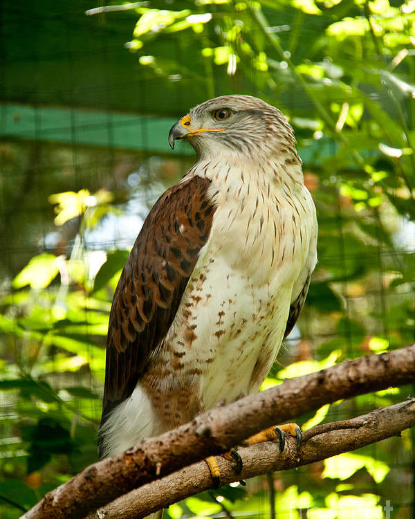 Bird Poster featuring the photograph Ferruginous Hawk by Rachel Duchesne