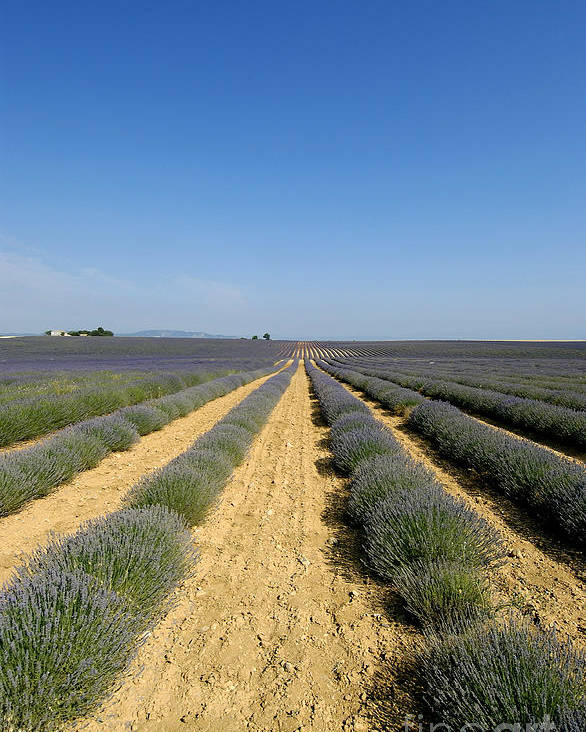 Lavender Poster featuring the photograph Field Of Lavender. Valensole by Bernard Jaubert