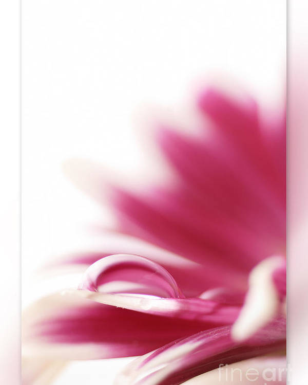 Pink Poster featuring the photograph Flowers Drop by Silvio Schoisswohl