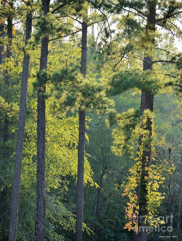 Forest Poster featuring the photograph Forest Illumination At Sunset by Maria Urso