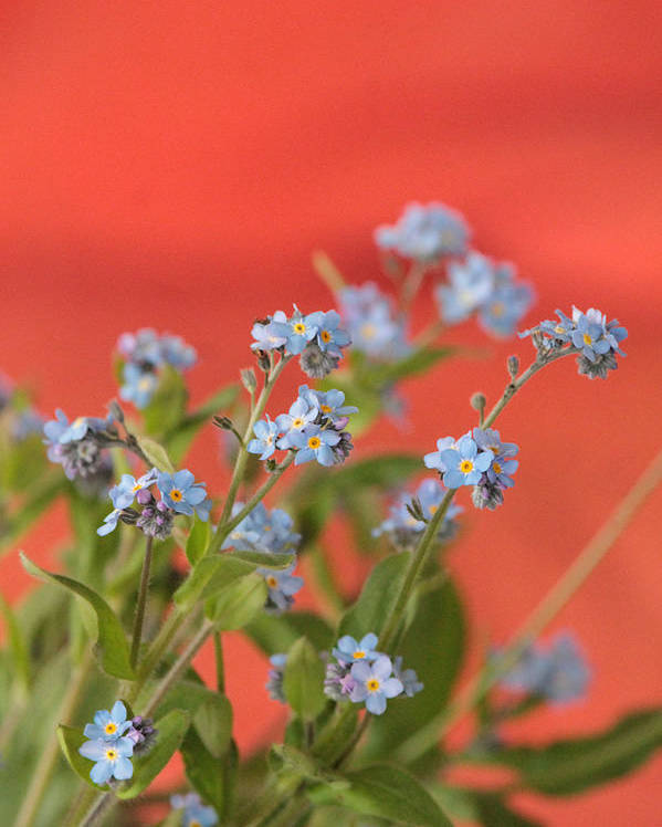 Forget-me-nots Forget Me Nots Blue Spring Flowers Myosotis Family Boraginaceae Cynoglossum Family Henry Hemming Plant Spring Poster featuring the photograph Forget Me Nots by Henry Hemming