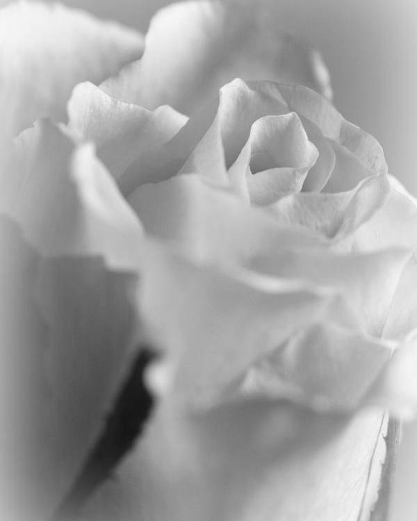 Rose Poster featuring the photograph Friendship Rose In Black And White by Mark J Seefeldt