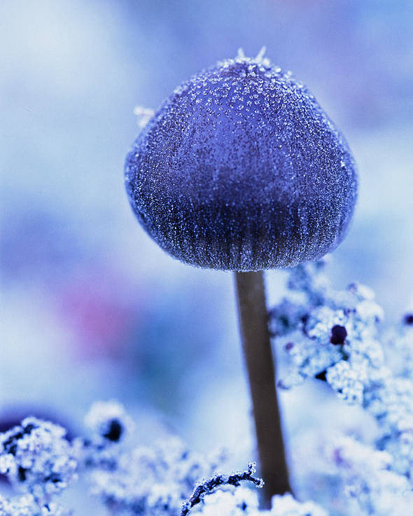 Light Poster featuring the photograph Frost Covered Mushroom, North Canol by Robert Postma